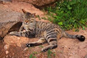 Chat à Delphes en Grèce
