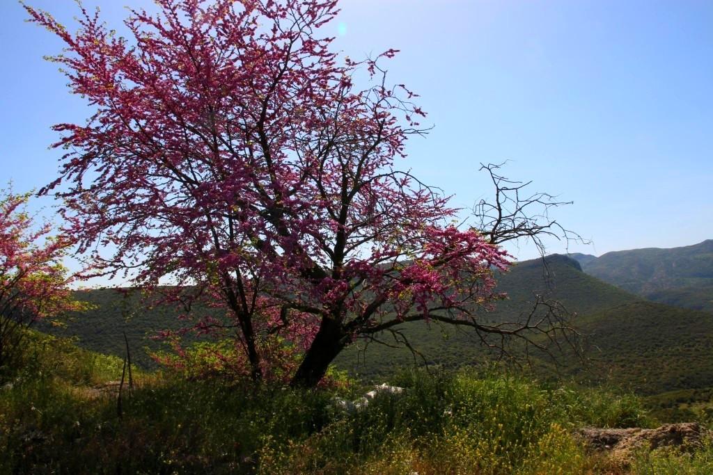 Arbre à fleurs des gorges de Loussios
