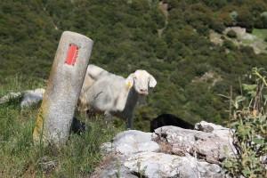 Chèvre sur les routes de Grèce