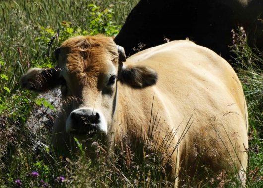Vache sur le Chemin de Compostelle