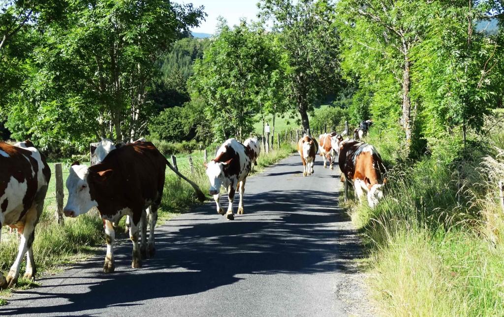 Vaches sur le Chemin de Compostelle