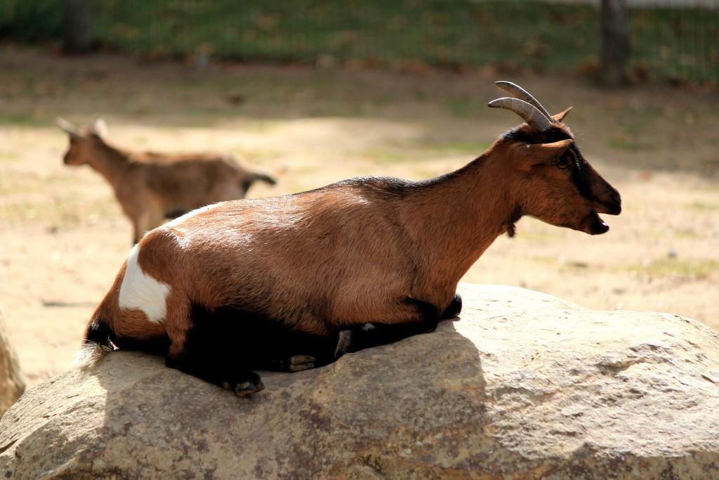 Chèvre, Parc des Félins