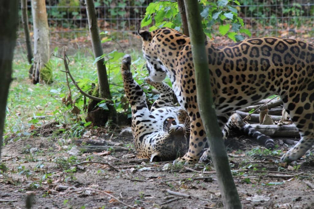 Jaguar, Parc des Félins