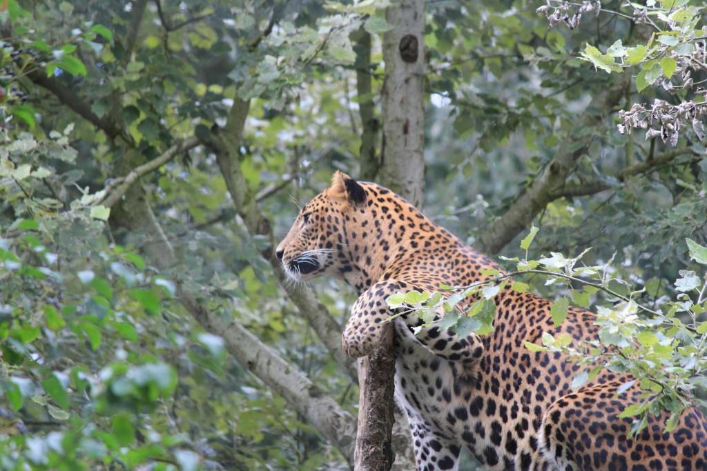 Léopard du Sri Lanka, Parc des Félins