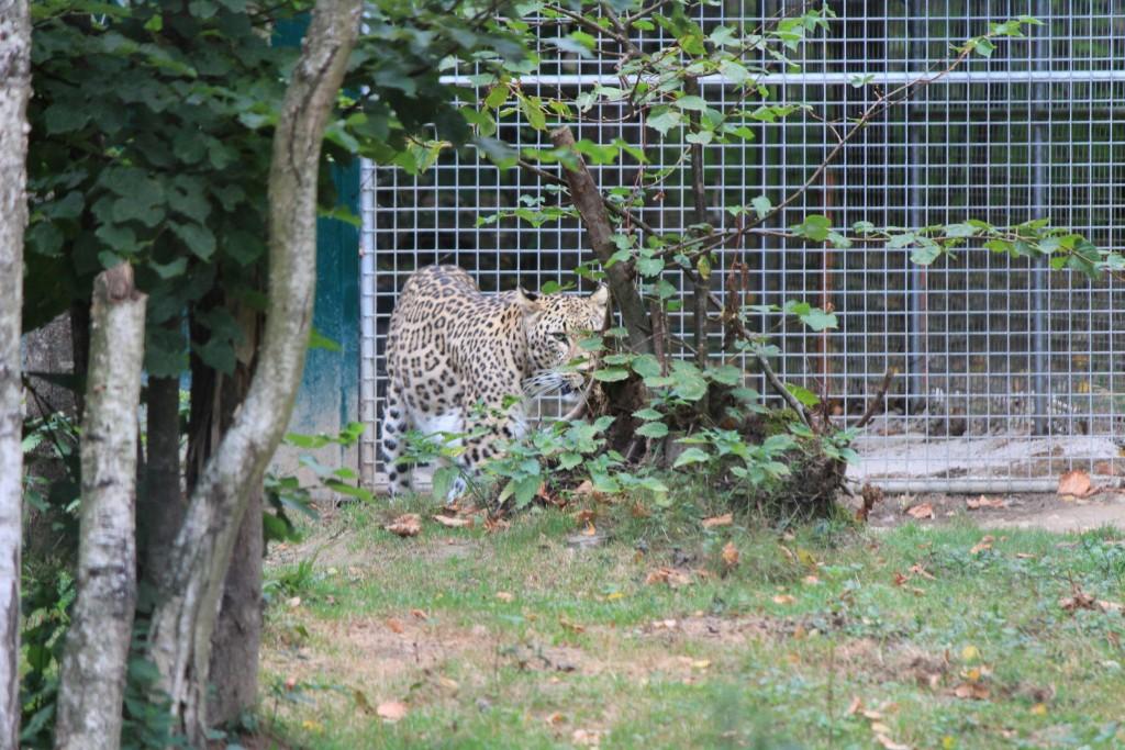 Léopard de Perse, Parc des Félins