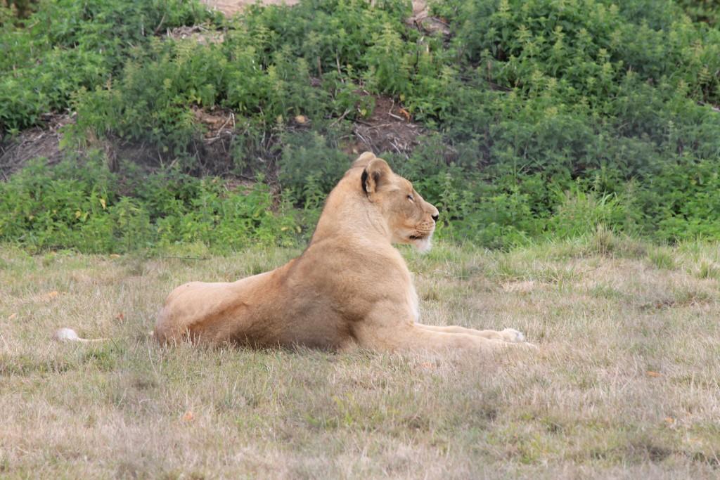 Lion de l'Angola, Parc des Félins