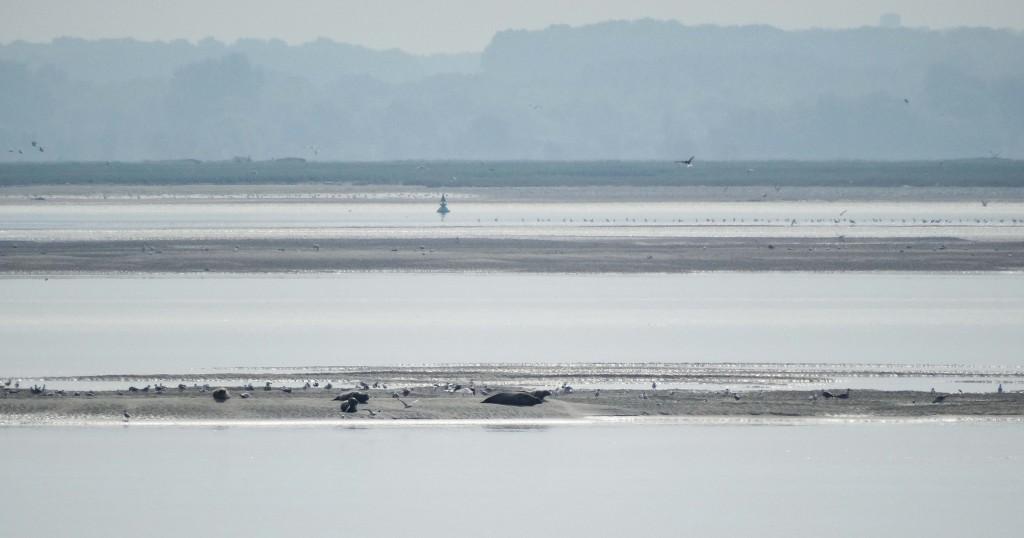 Banc de phoques en Baie de Somme