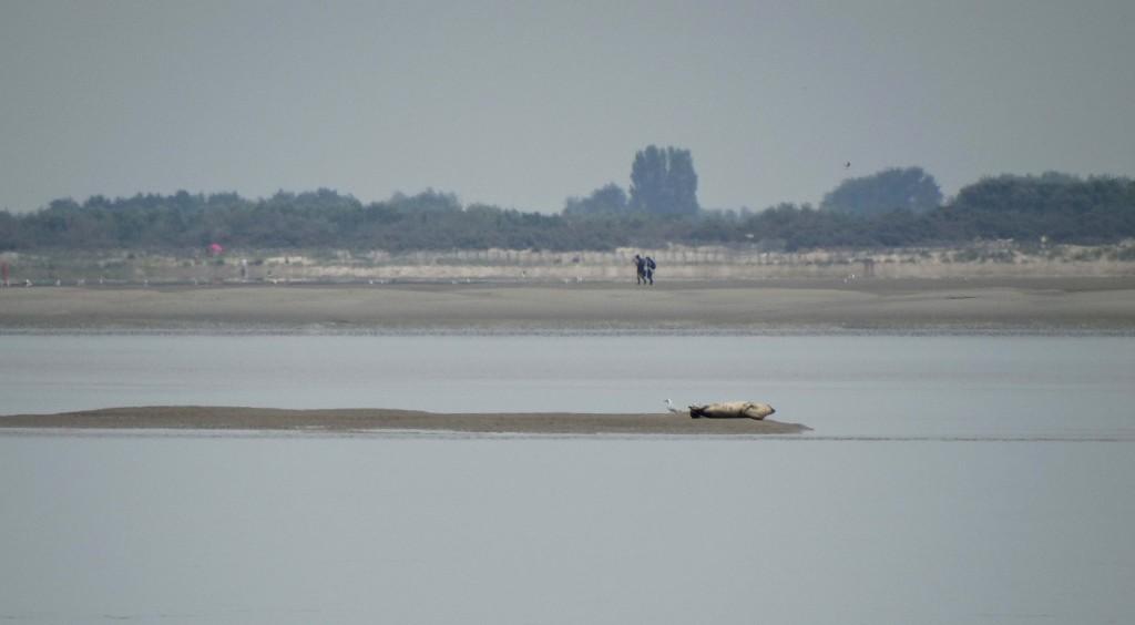 Une maman phoque et son bébé en Baie de Somme