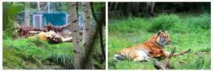 Tigre de Sibérie ou Tigre de l'Amour, Parc des Félins