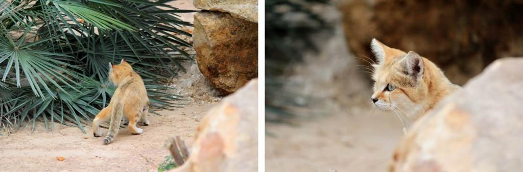 Chat des sables ou Chat du désert, Parc des Félins