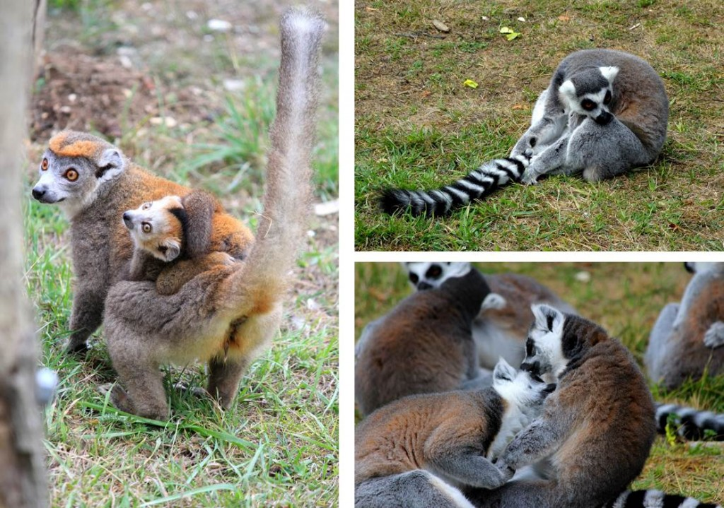 Lémuriens, Parc des Félins