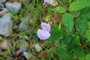 Fleur sur le Tour du Beaufortain