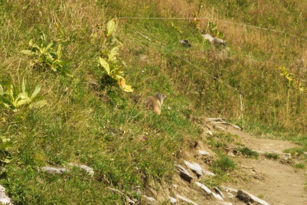 Marmotte du col du Joly