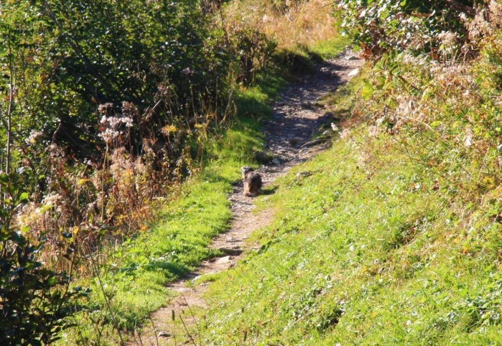 Marmotte sur le Tour du Beaufortain