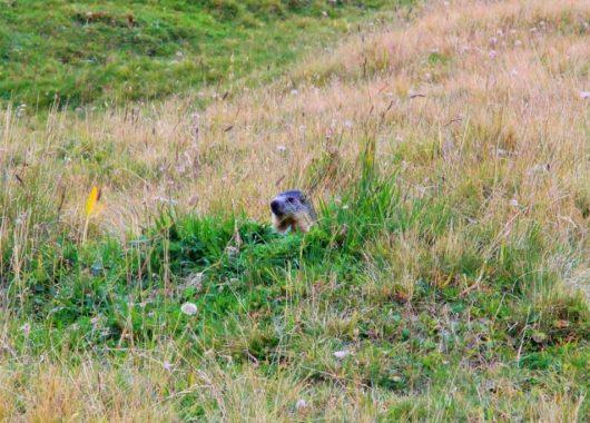 Plan des marmottes sur le Tour du Beaufortain