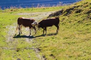 Vaches sur le Tour du Beaufortain