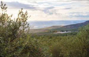 Champs d'oliviers à Baeza