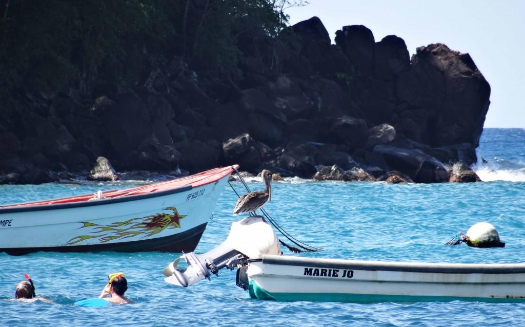 Pélican en Martinique