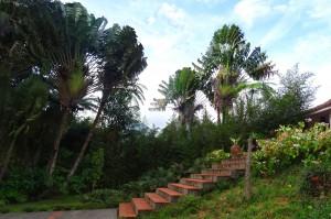 Arbre du voyageur du Jardin de Balata