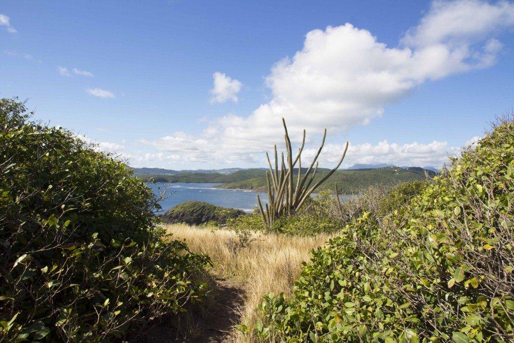 Cactus de la presqu'île de la Caravelle