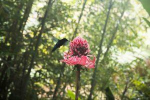Colibri du Jardin de Balata