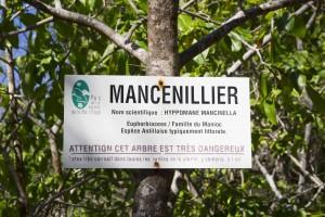 Mancellinier de la réserve de la caravelle en Martinique