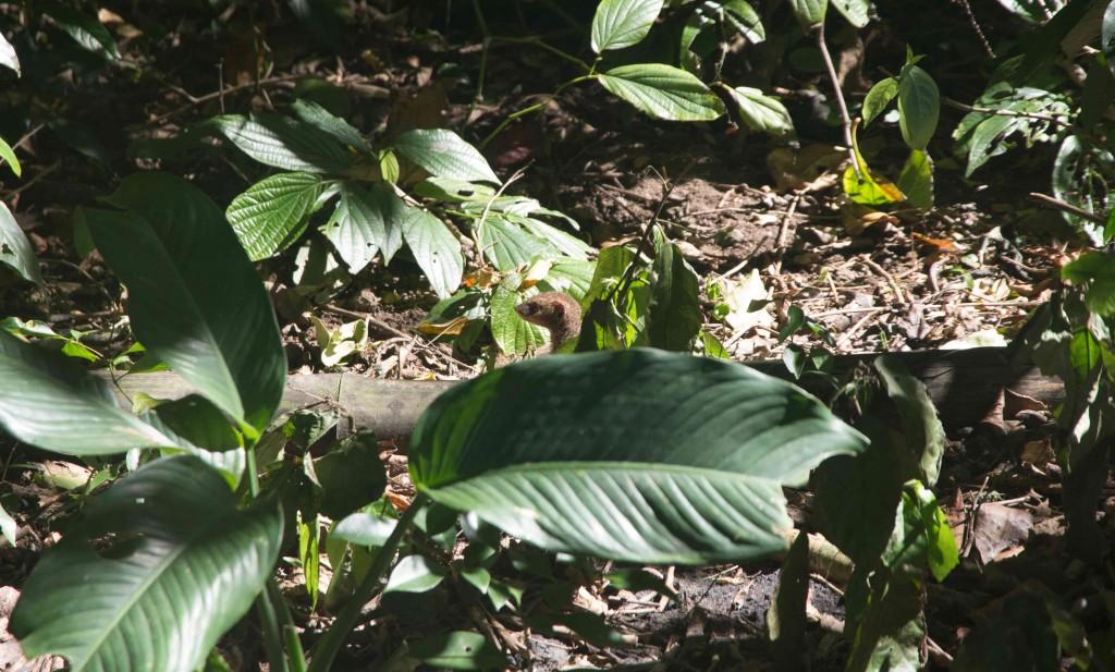 Mangouste à Anse Couleuvre en Martinique