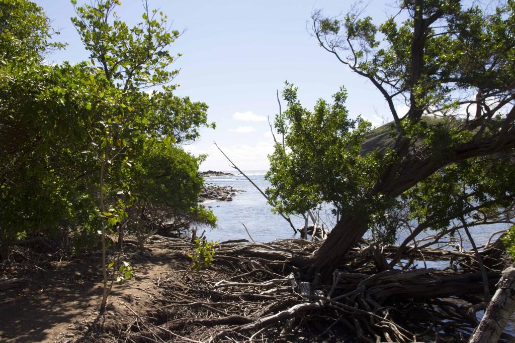Mangrove de la presqu'île de la Caravelle
