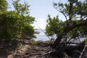 Mangrove presqu'île de la caravelle