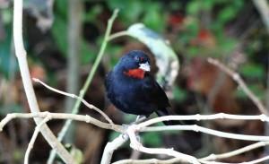 Oiseau à Anse Couleuvre