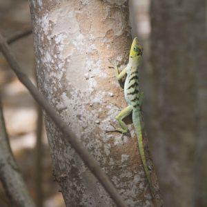Lézard en Martinique